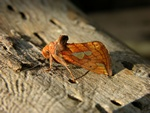 Gold Spot (Plusia festucae)